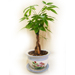 Potted Braided Money Tree