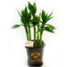 Potted Lucky Bamboo