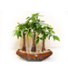 Success Potted Money Tree