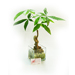 Elegant Money Tree in Square Vase